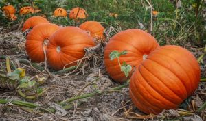 Colorado Pumpkin Patch @ Colorado Pumpkin Patch